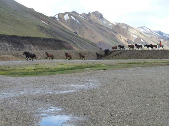 chevaux islandais au landmanalaugar