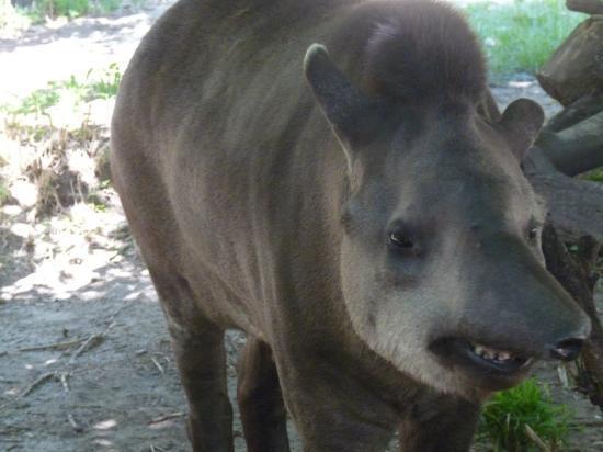 casimir le tapir