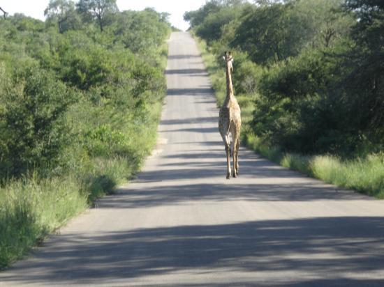 girafe empruntant les grands axes routiers