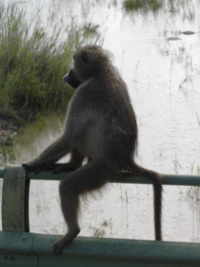 babouin à son poste d'observation