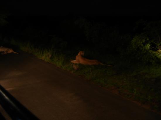 lionne la nuit