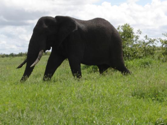 gros éléphant mâle