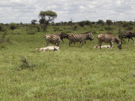 troupeau de zèbres