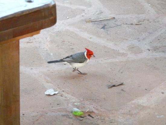 oiseau à la hupette rouge